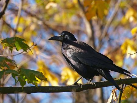 Осень. Ворона